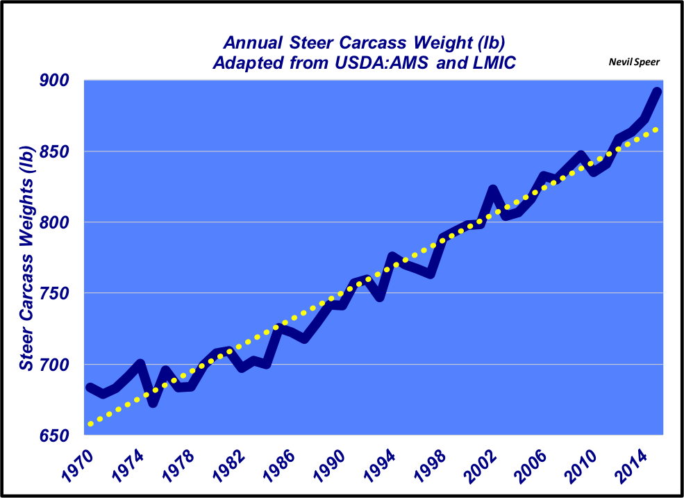 What are the implications of the long-term trend in steer carcass weights?  | Beef Magazine