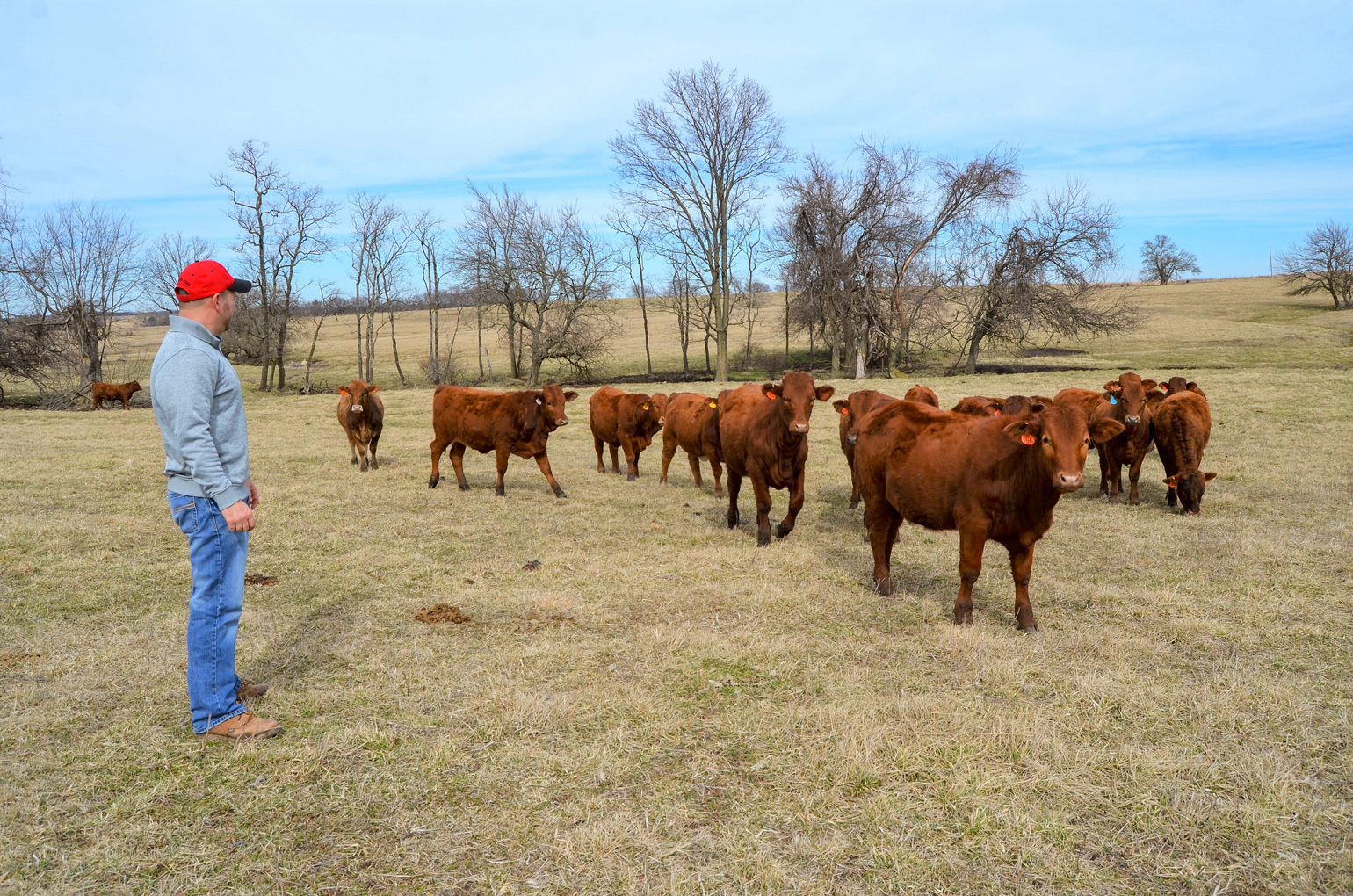 Craig Johnson looks over a set of young heifers
