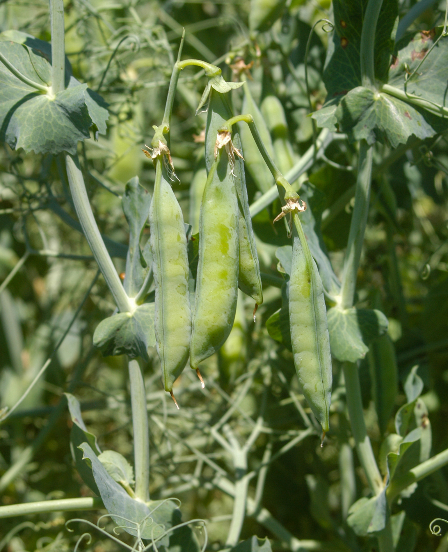 Closeup of a field pea
