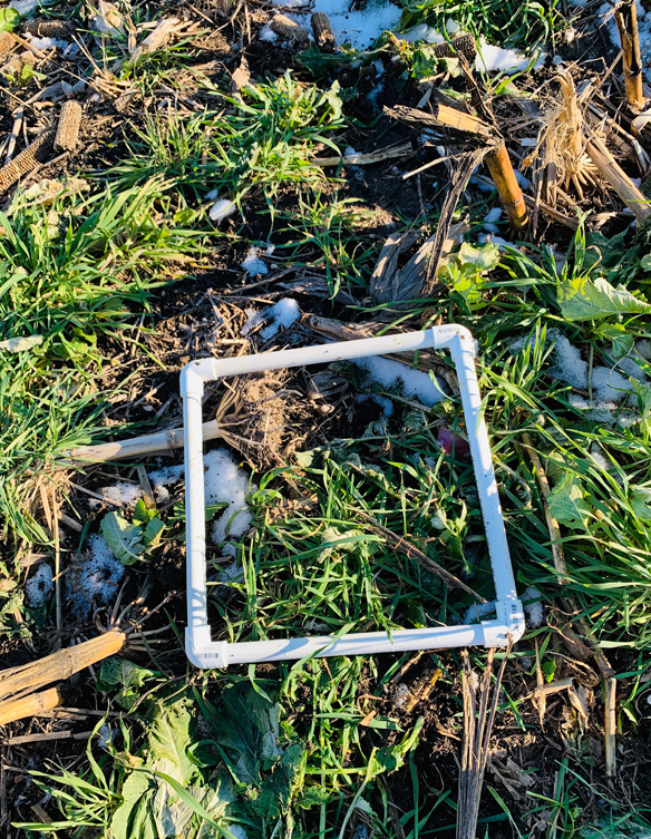 closeup of cover crops with  plastic square tubing frame highlighting cover crops in field